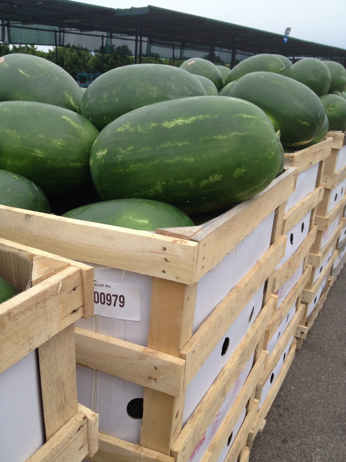 The watermelon's distribution of 2015 has already started! pics